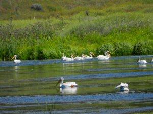 Amercian White Pelicans on Baum Lake