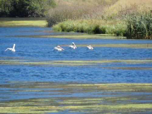 American Pelicans on Baum Lake