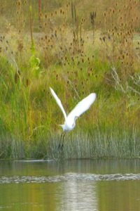 Egret over Baum Lake near PCT