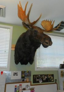 Moose head on the wall 2