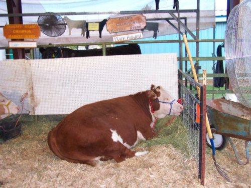 Prize livestock