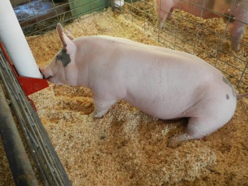 Welander's Grand Champion Market Hog