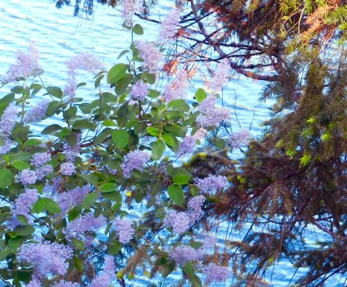 Lilacs by the lake