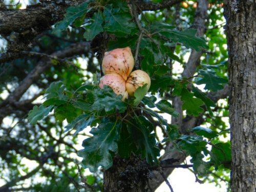 Strange growth on an oak tree