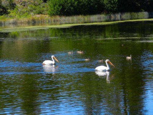 Pelicans and ducks on Baum Lake