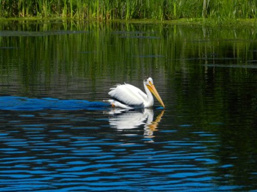 Puffy-winged Pelican