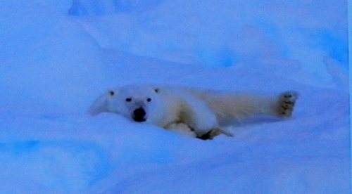 Polar Bear lying in the snow