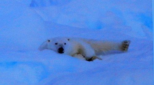 Polar Bear lying in the snow
