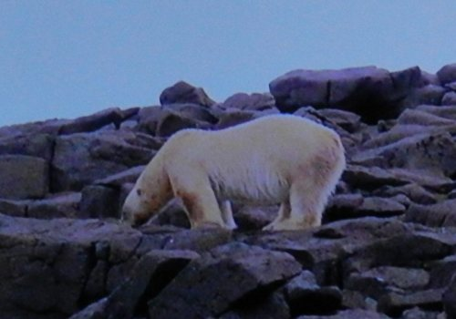 Polar bear on land