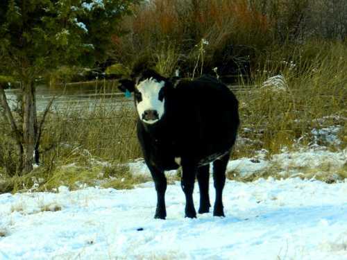 This cow was watching us very closely